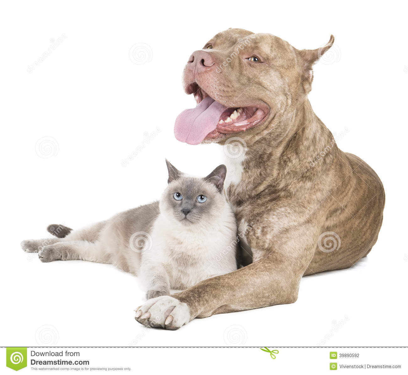 Pit Bull And A Cat Stock Photo  Image 39890592