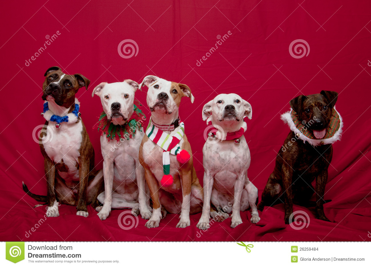 Pitbull Family Christmas Portrait Stock Photo Image