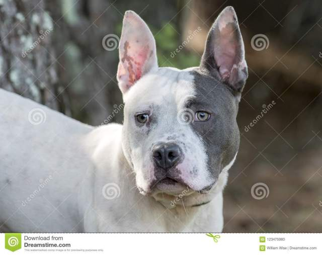 pitbull terrier and french bulldog mixed breed dog stock