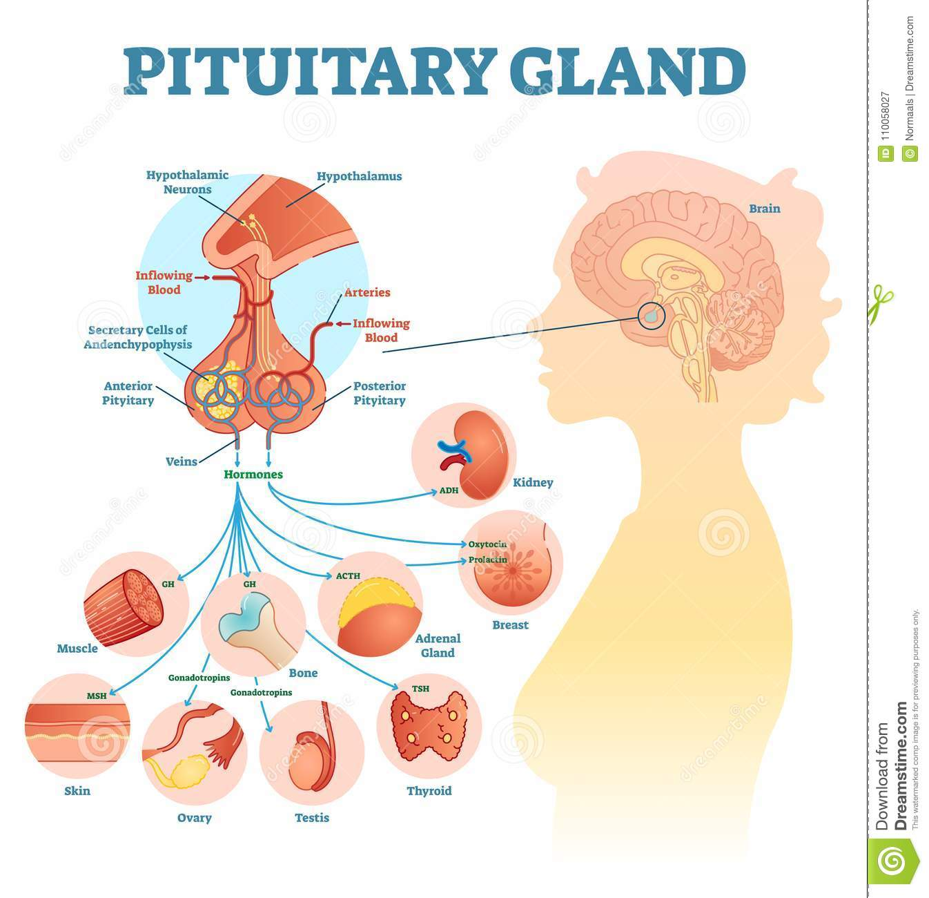 hight resolution of pituitary gland anatomical vector illustration diagram educational medical scheme