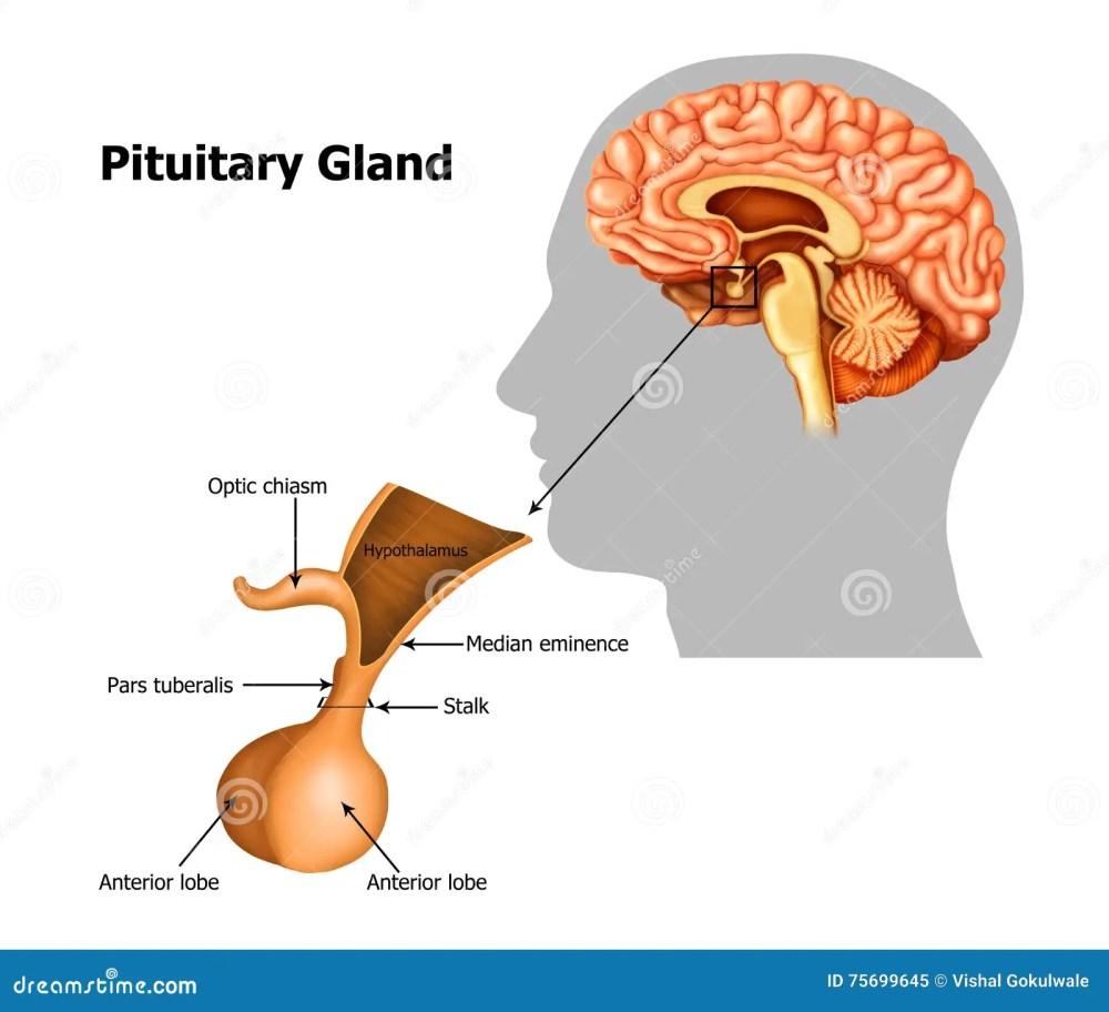 medium resolution of illustration of the pituitary gland