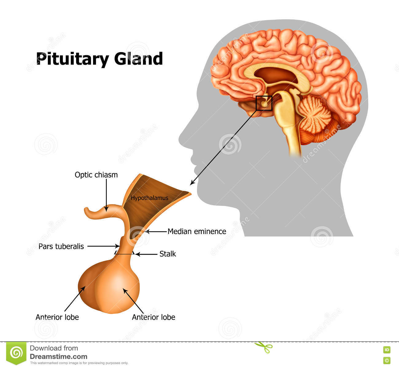 hight resolution of illustration of the pituitary gland