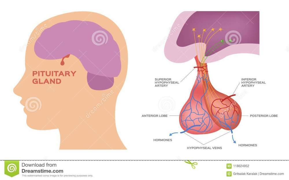 medium resolution of pituitary gland on white background