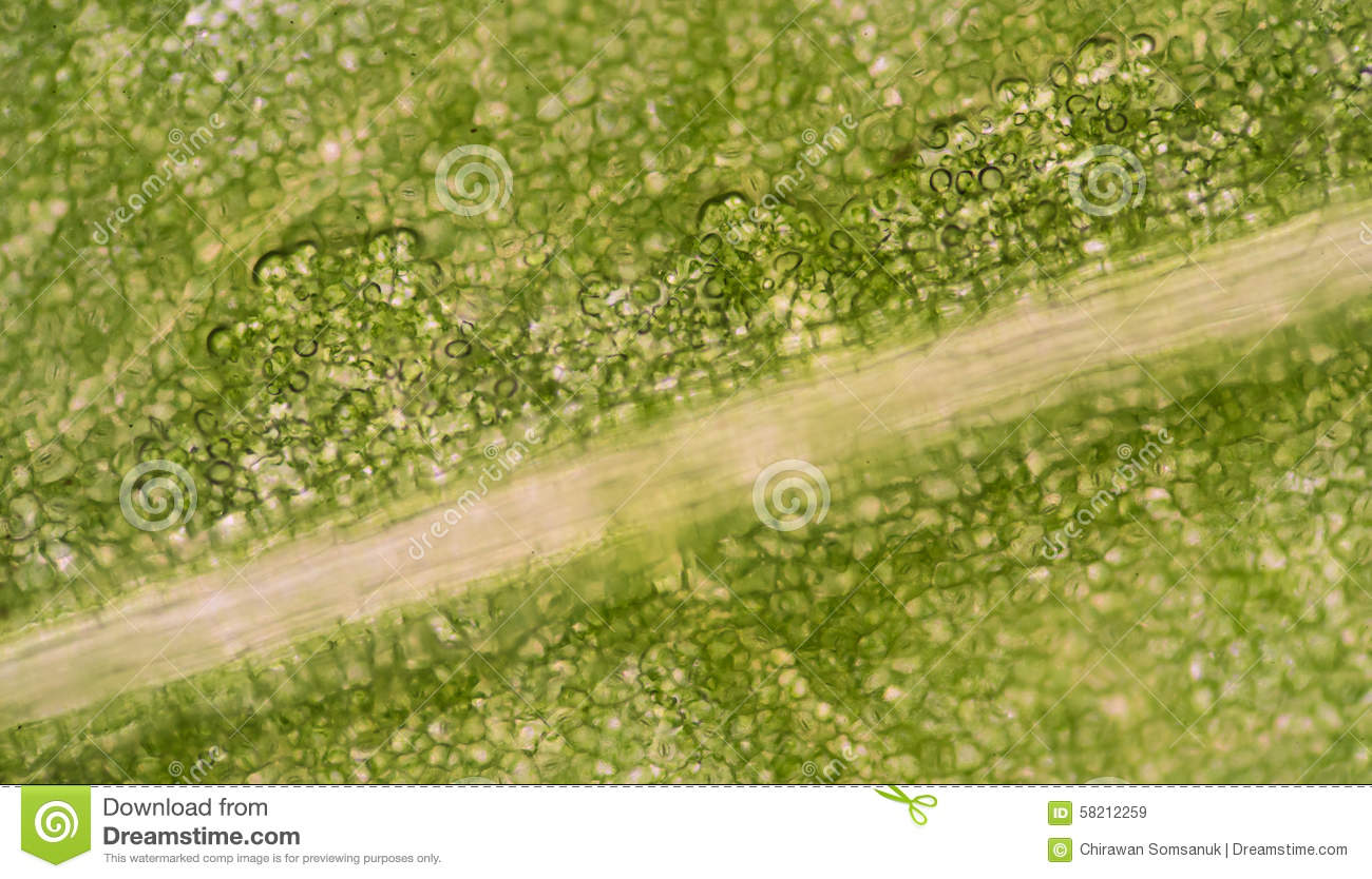 elodea leaf cell diagram 2002 ford mustang headlight wiring plant cells under microscope stock image 58212259