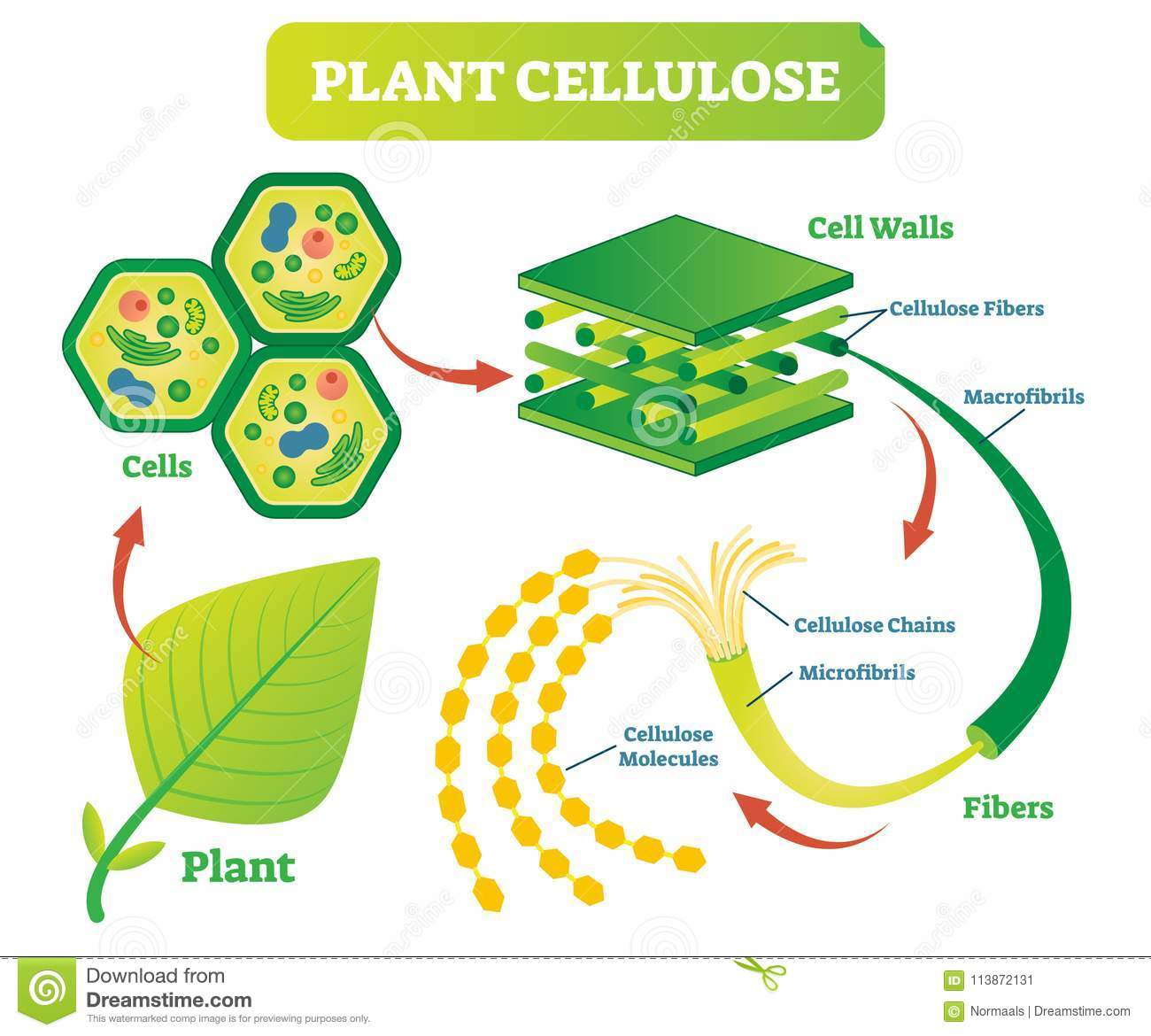 hight resolution of plant cellulose biology vector illustration diagram