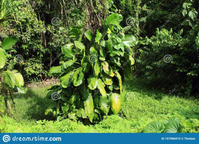 Plant At The Edge Of Indonesian Jungle Stock Image Image Of Plants Indonesian 157966915