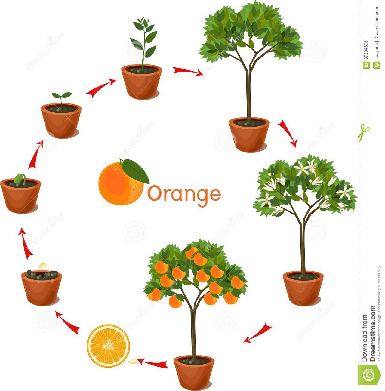 Plant Growing From Seed To Orange Tree Life Cycle Plant Stock Vector