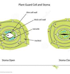 plant guard cells with stoma fully labeled  [ 1300 x 761 Pixel ]