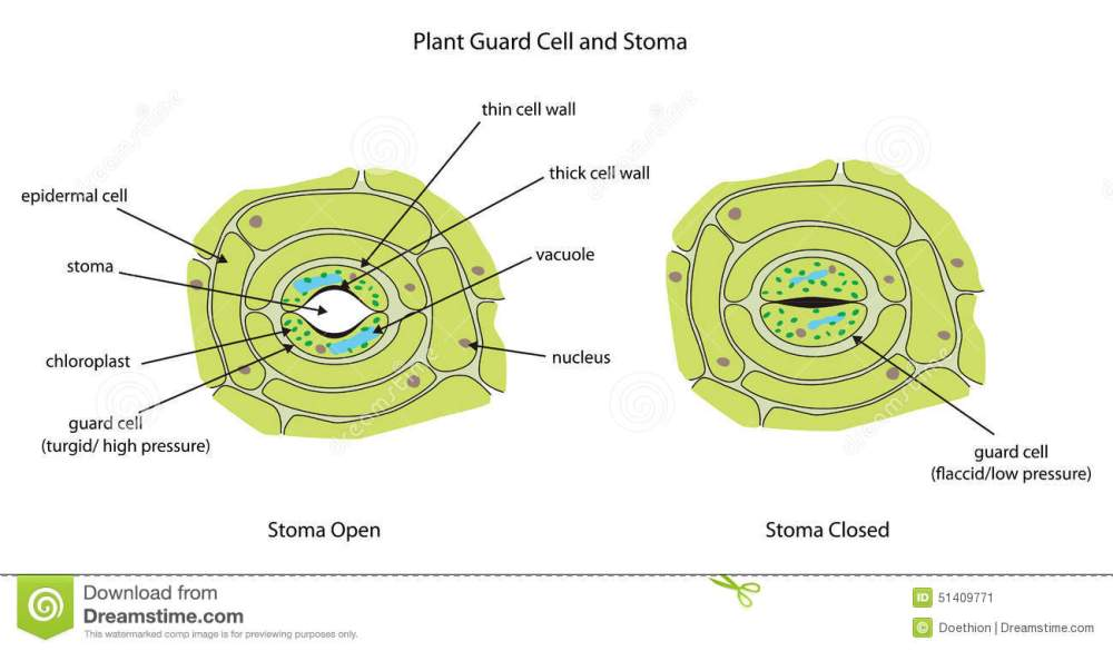 medium resolution of plant guard cells with stoma fully labeled