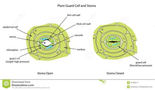 small resolution of plant guard cells with stoma fully labeled