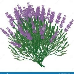 Plant Diagram Clip Art 7 Layers Of Skin Lavender Stock Illustration Bush