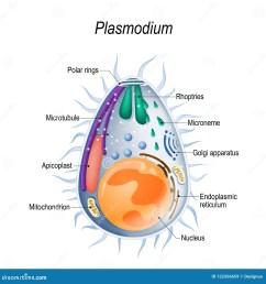 diagram of plasmodium merozoites structure  [ 1300 x 1390 Pixel ]