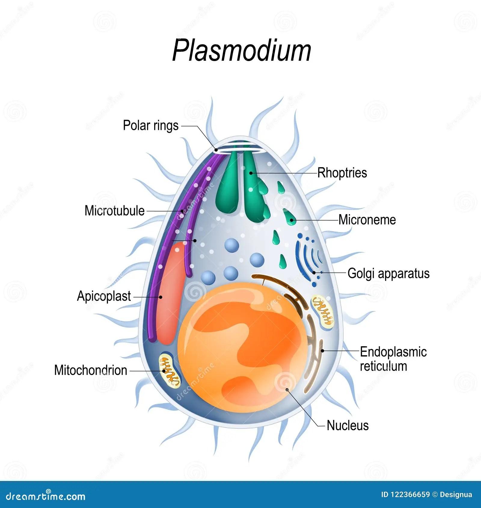 hight resolution of diagram of plasmodium merozoites structure
