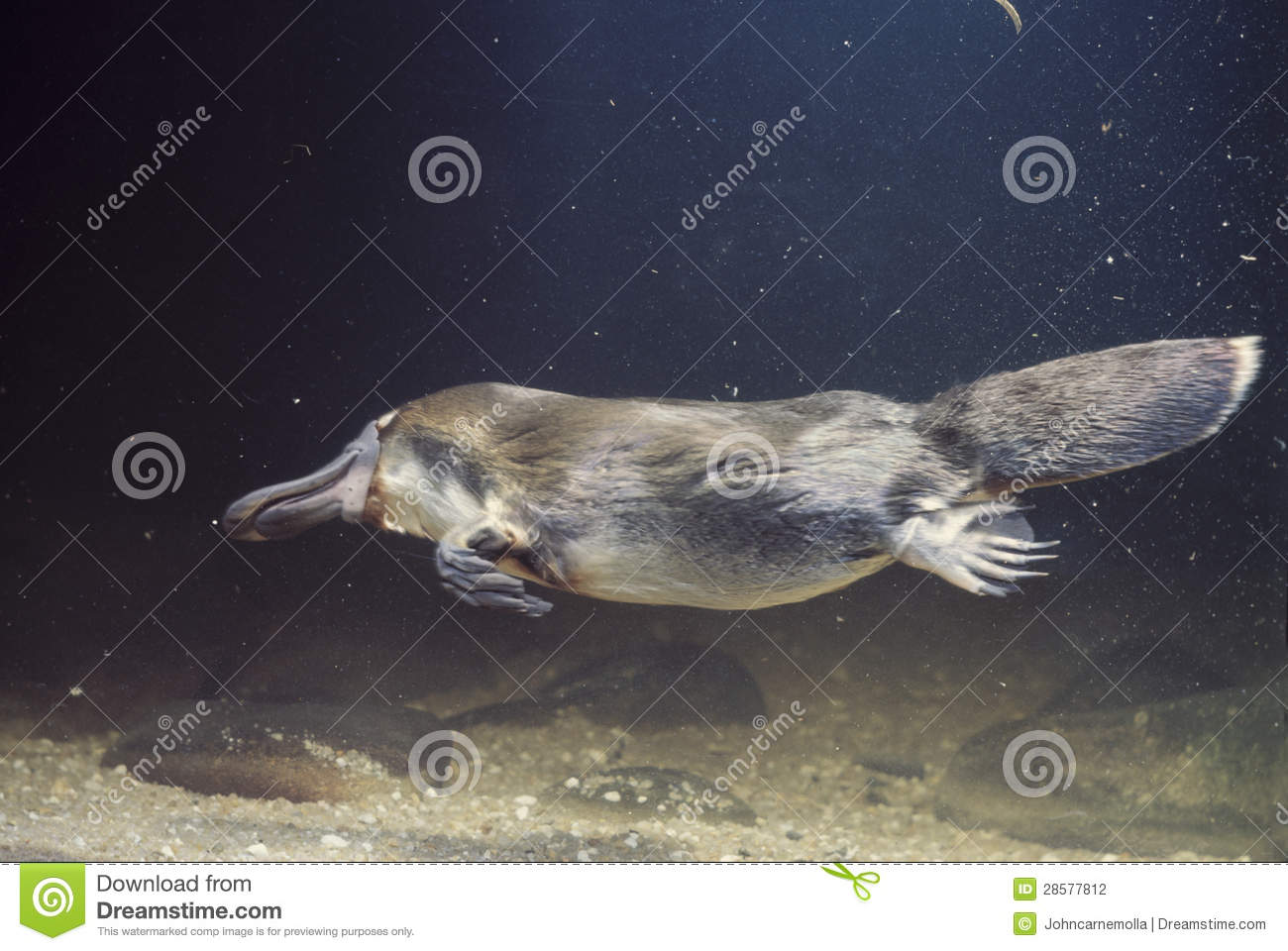 Platypus Stock Photography  Image 28577812