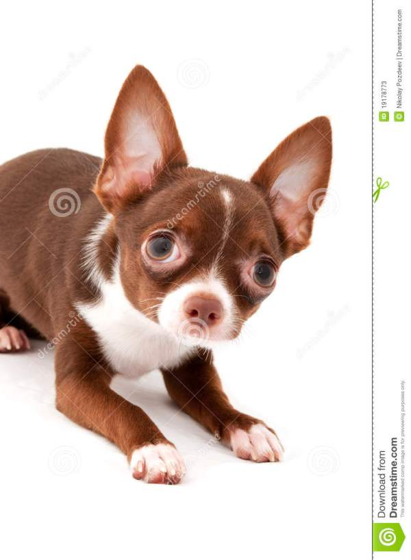 Playful Chocolate Brown With White Chihuahua Dog Stock