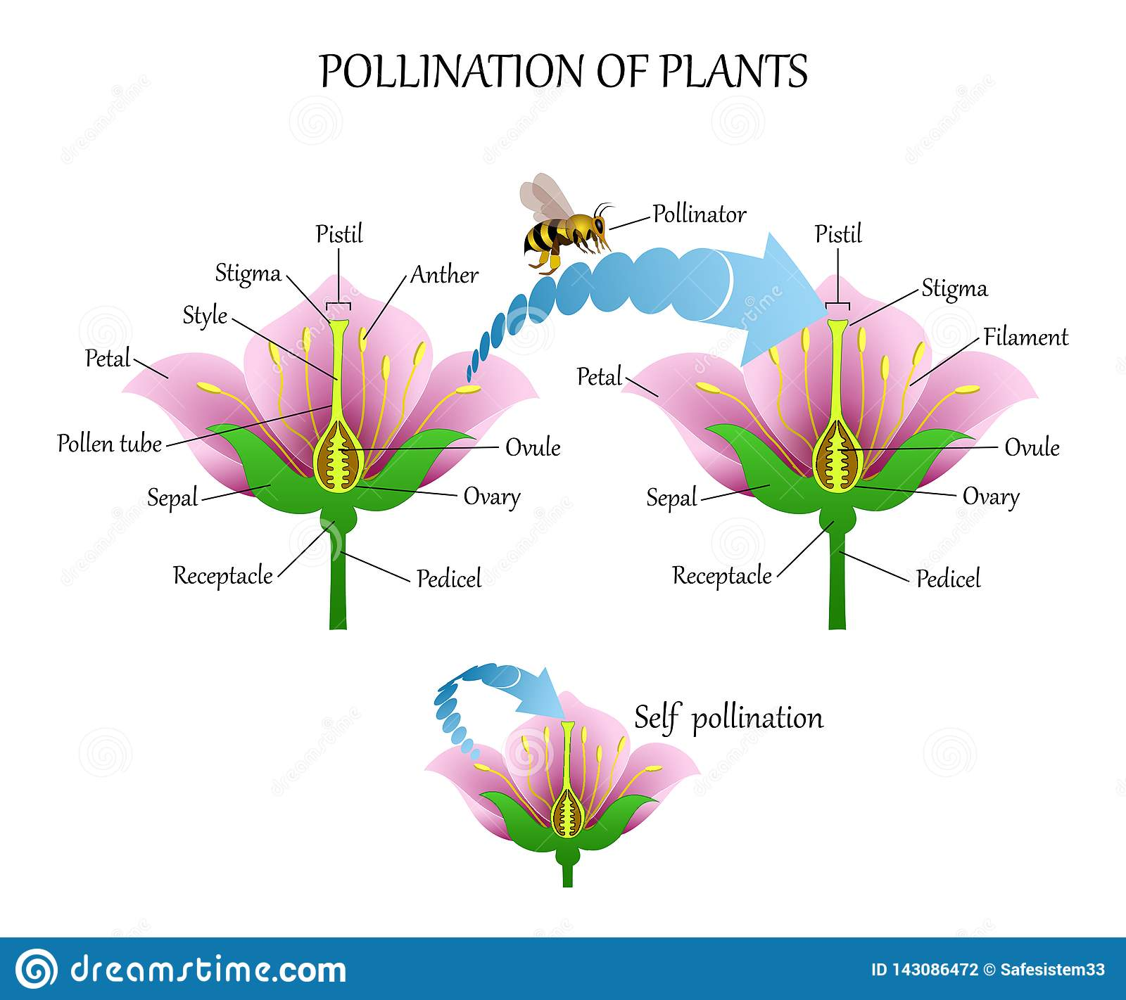 hight resolution of pollinating plants with insects and self pollination flower anatomy education diagram botanical biology