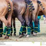 Polo Horses Ponies Yellow Tails Stock Photo Image Of Equestrian Sports 33065474