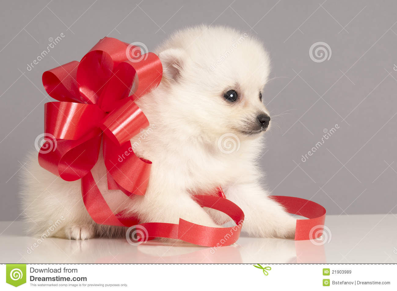 Pomeranian Puppy Present Royalty Free Stock Images