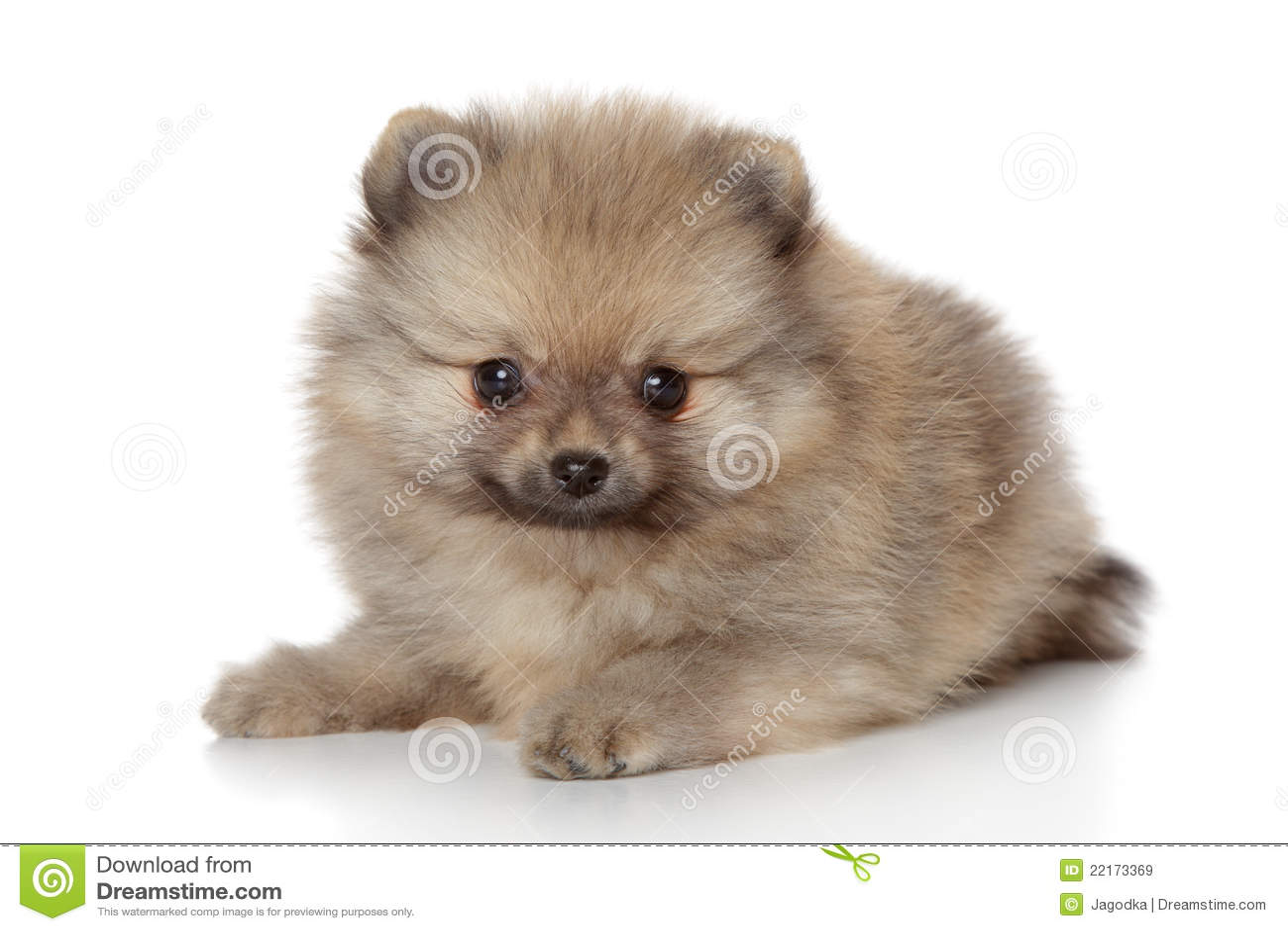 Cute Pomeranian Puppies Wallpaper Pomeranian Spitz Puppy Stock Image Image Of Domestic