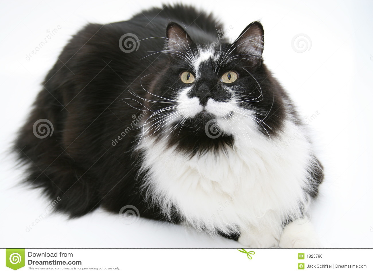 Portrait Of A Black And White Cat Stock Photo  Image 1825786