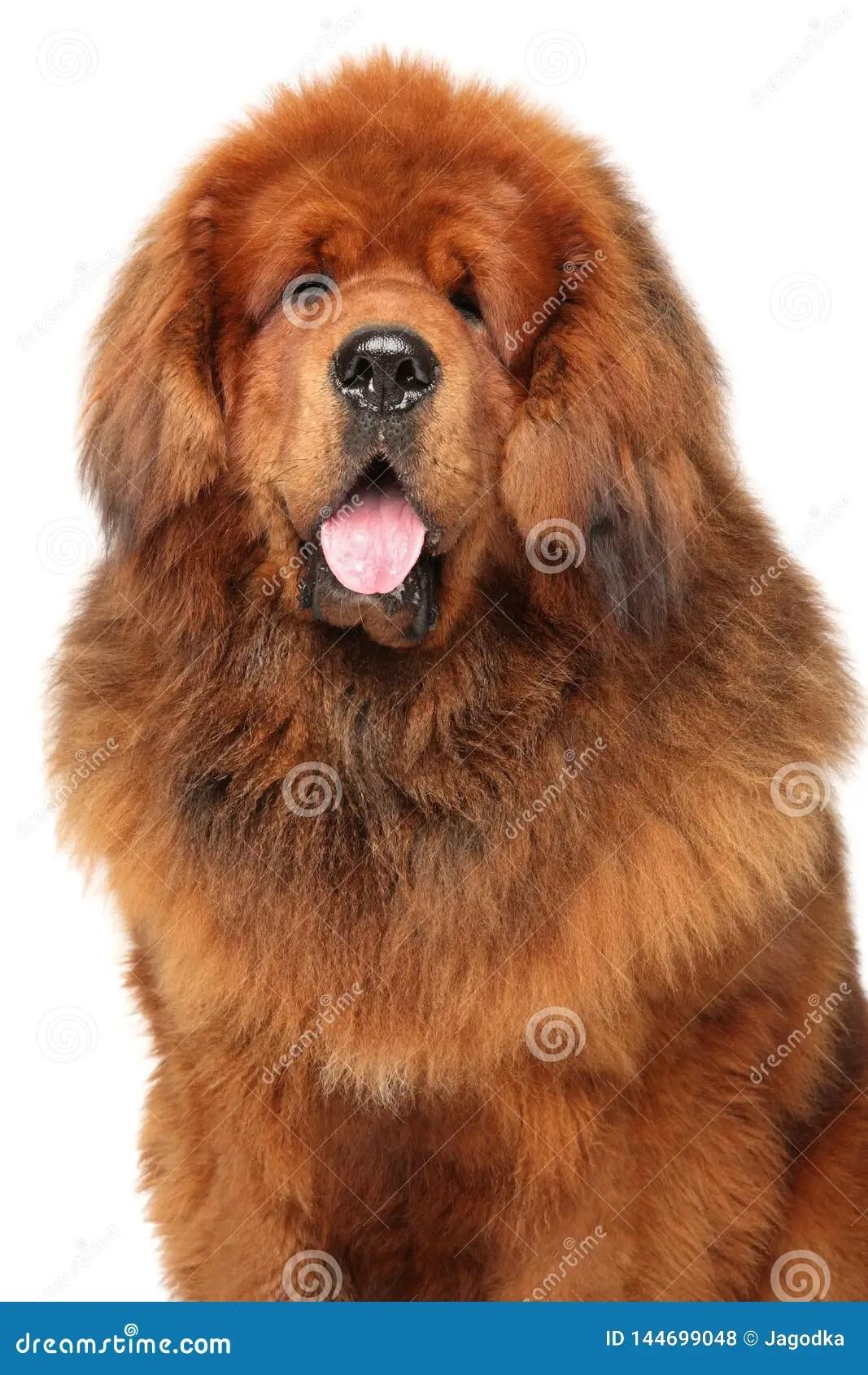 Portrait Of Huge Red Tibetan Mastiff Stock Photo - Image of portrait. animals: 144699048