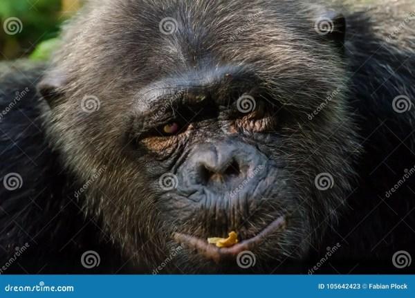 Portrait Of Old Chimp With Injured Eye Stock Image Image