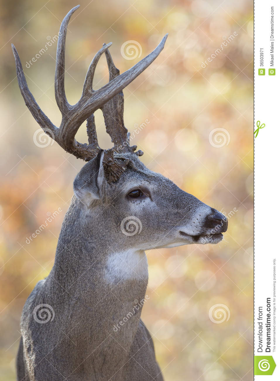 Deer Side View : Whitetail, Antlers, Photos, Royalty-Free, Stock, Dreamstime