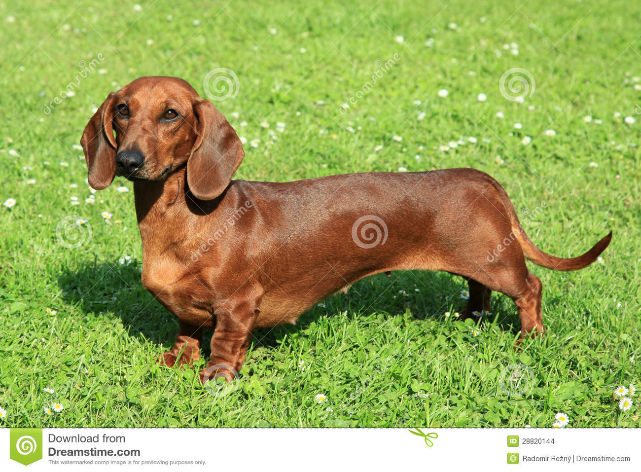 Portrait Of Standard Smooth Haired Dachshund Stock Images