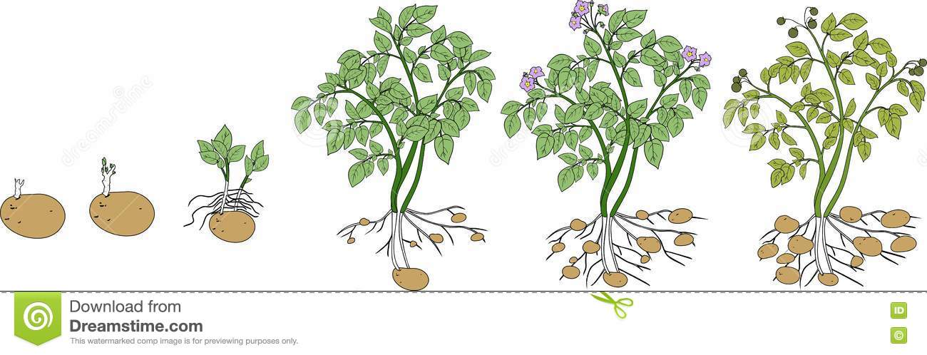 Plant Growth Cartoon Vector 15961587