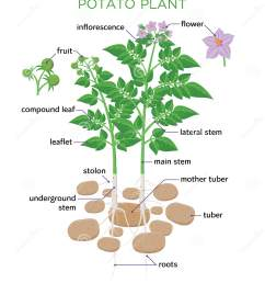 potato plant vector illustration in flat design potato growth diagram with parts of plant tubers stem roots flowers seeds isolated on white background [ 1416 x 1689 Pixel ]