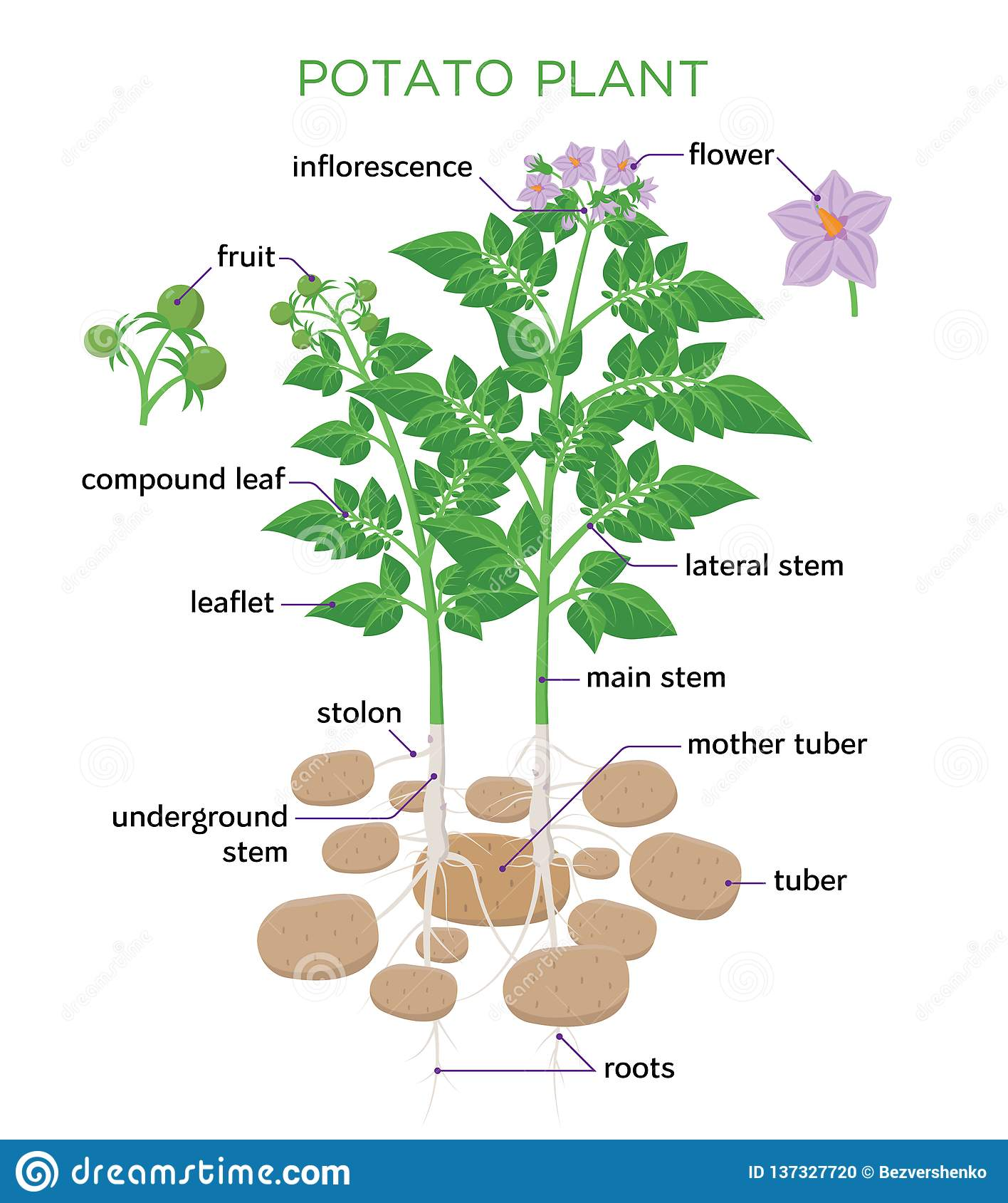 hight resolution of potato plant vector illustration in flat design potato growth diagram with parts of plant tubers stem roots flowers seeds isolated on white background