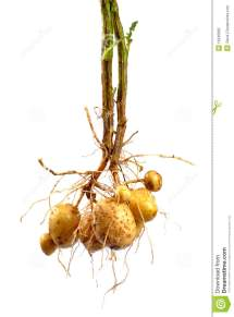 Potato With Root Royalty Free Stock - 15640895