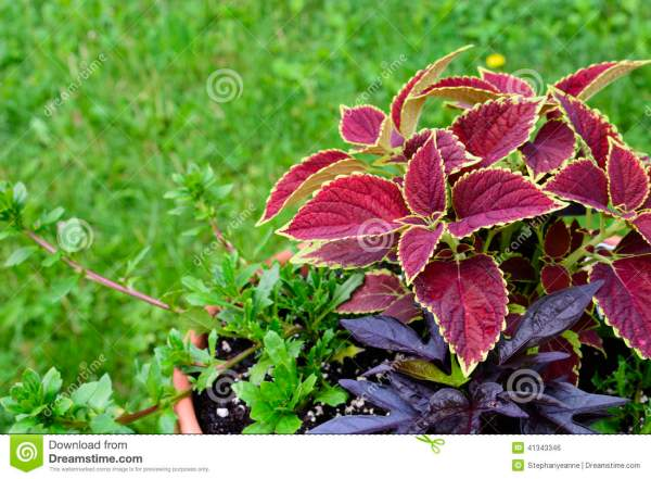 Sweet Potato Vine with Purple Flowers