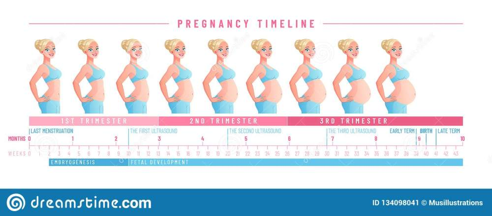 medium resolution of pregnancy timeline by weeks isolated vector illustration