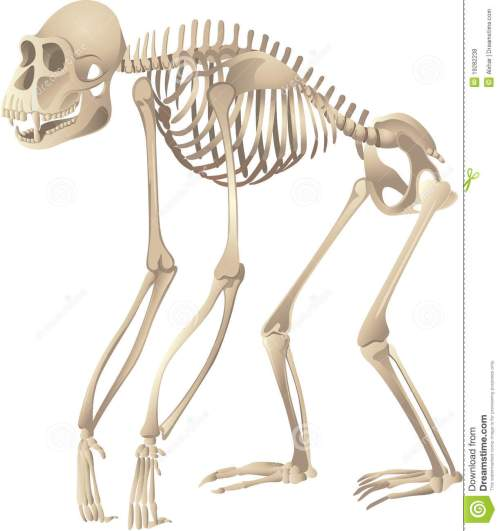 small resolution of primate skeleton