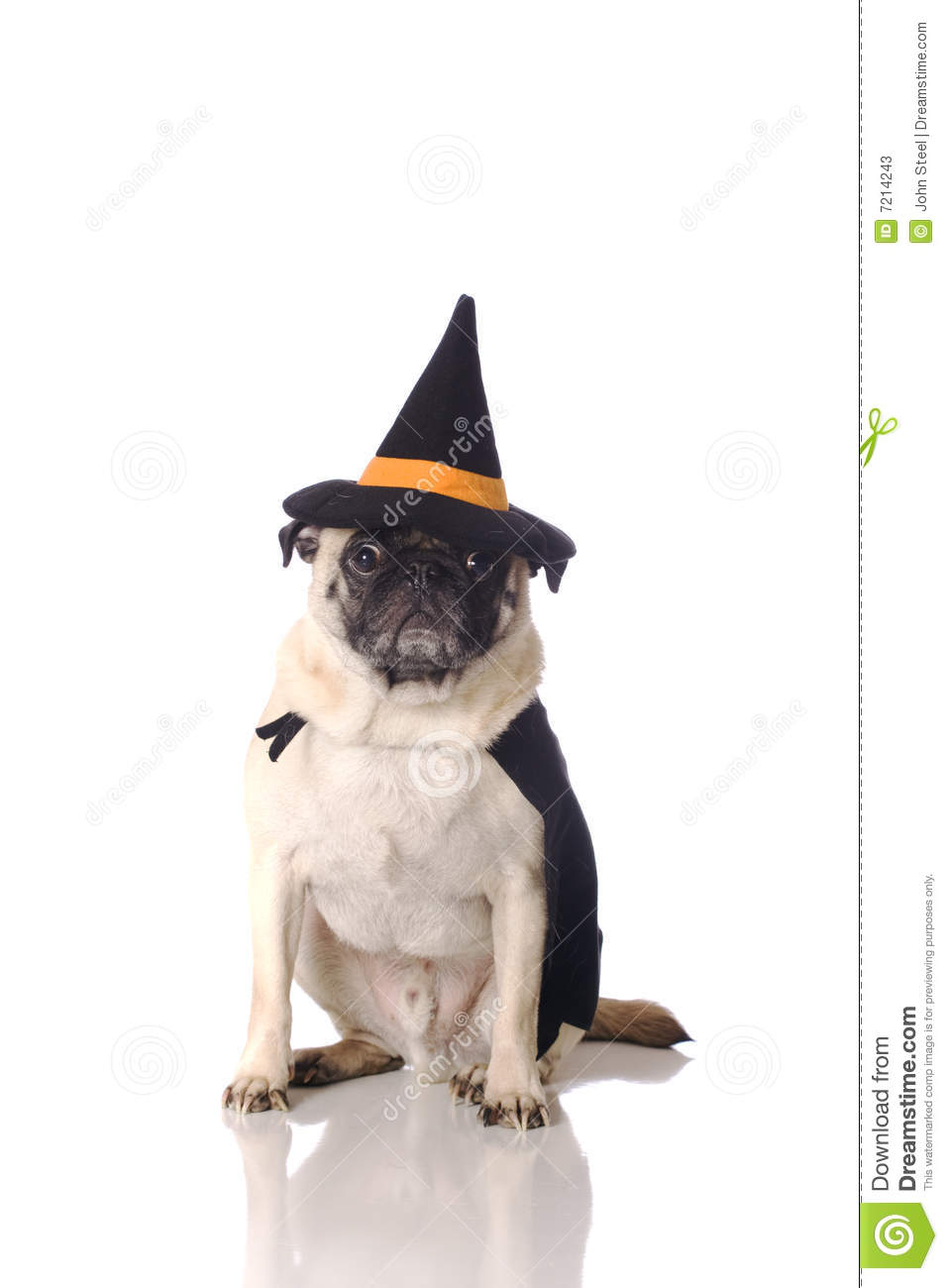 Pug Dog In Witch Costume Stock Photos  Image 7214243