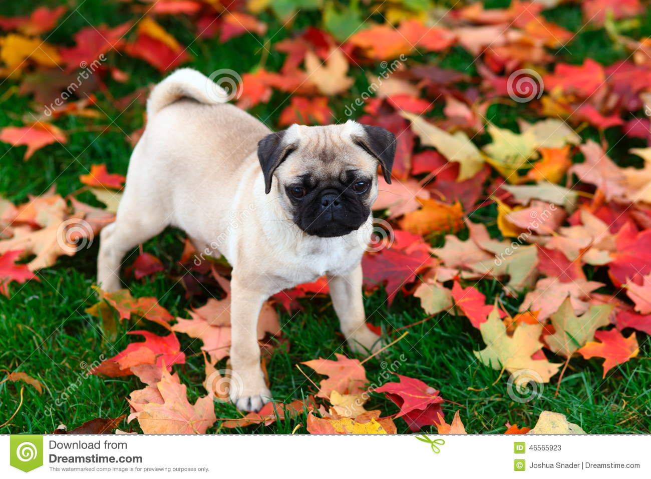 Free Fall Puppy Wallpaper Pug Puppy Standing In Colorful Autumn Leaves In Green