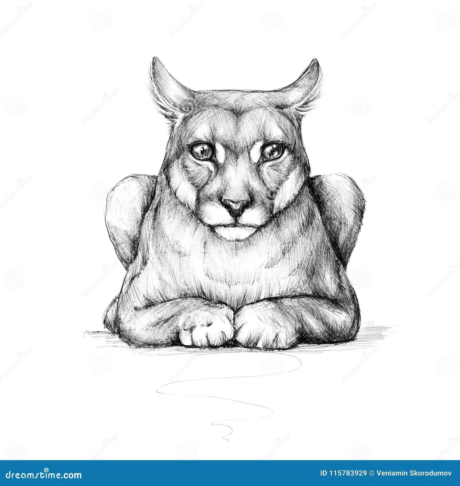 Puma, wild cat, drawing stock illustration. Illustration