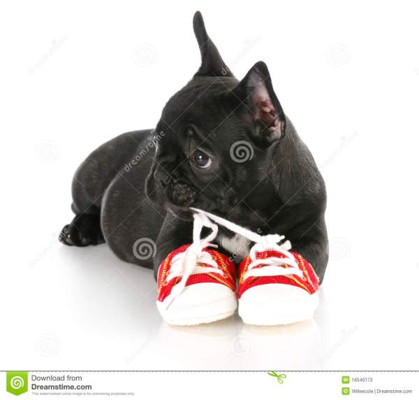 Puppy Chewing Shoes Stock - 16540173