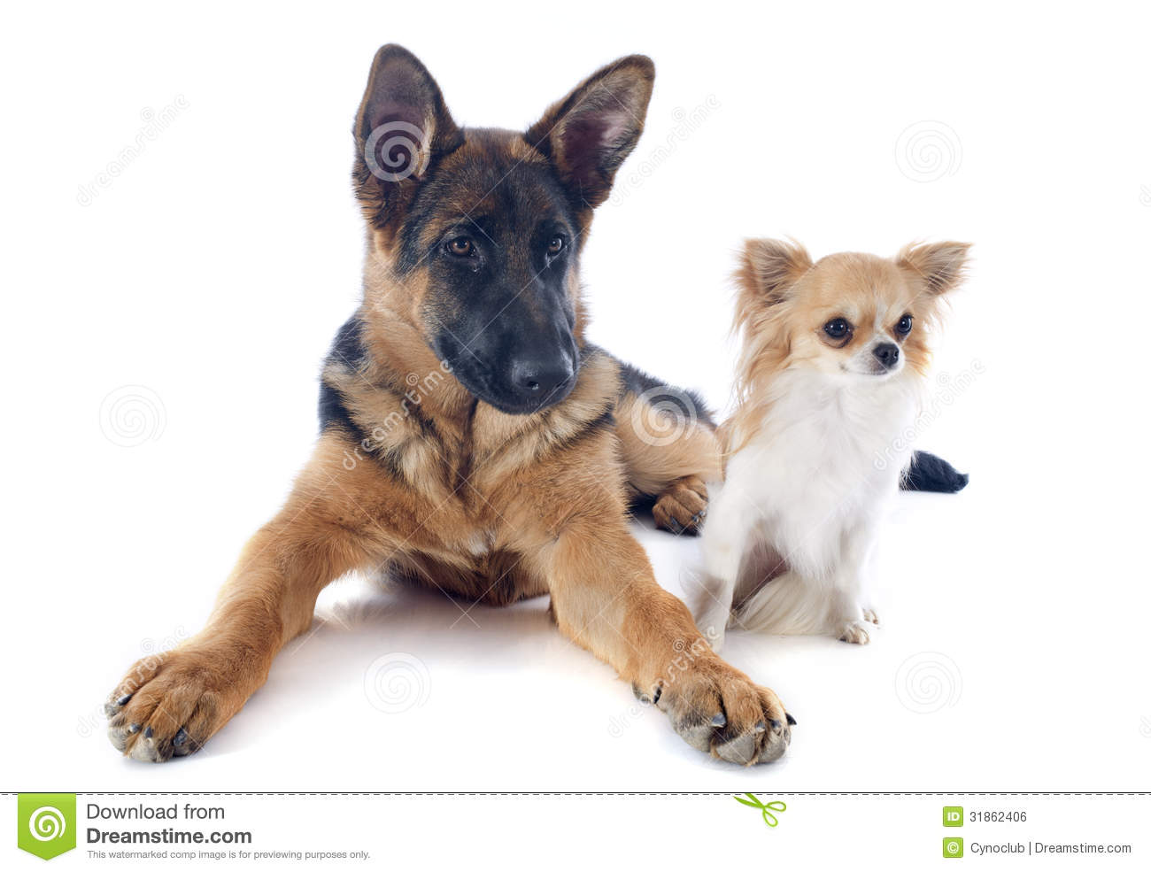 Puppy German Shepherd And Chihuahua Royalty Free Stock