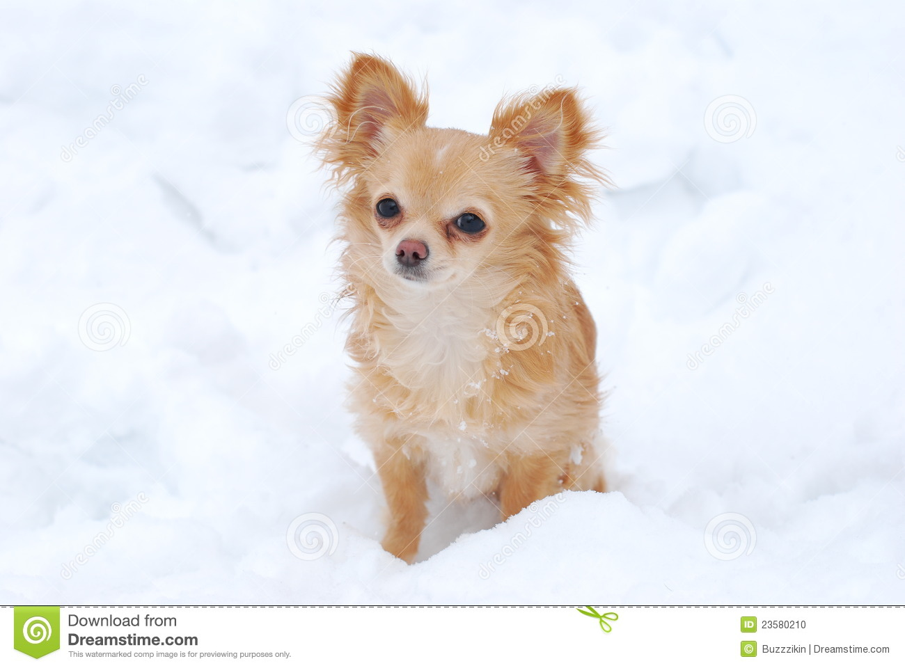 Puppy Long Haired Chihuahua Stock Photo Image 23580210