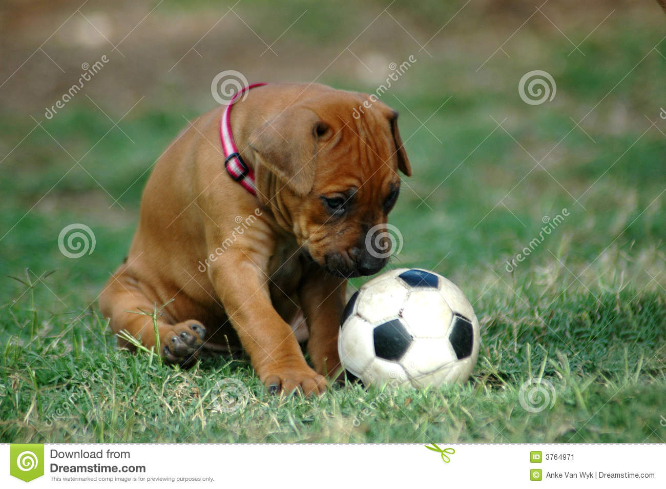 Puppy Playing With Toy Stock Image  Image 3764971