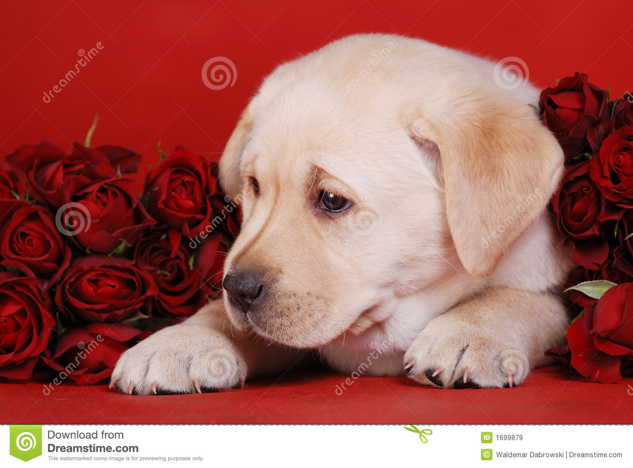 All Cute Flower Wallpaper Puppy And Roses Stock Image Image Of Emotion Friendship