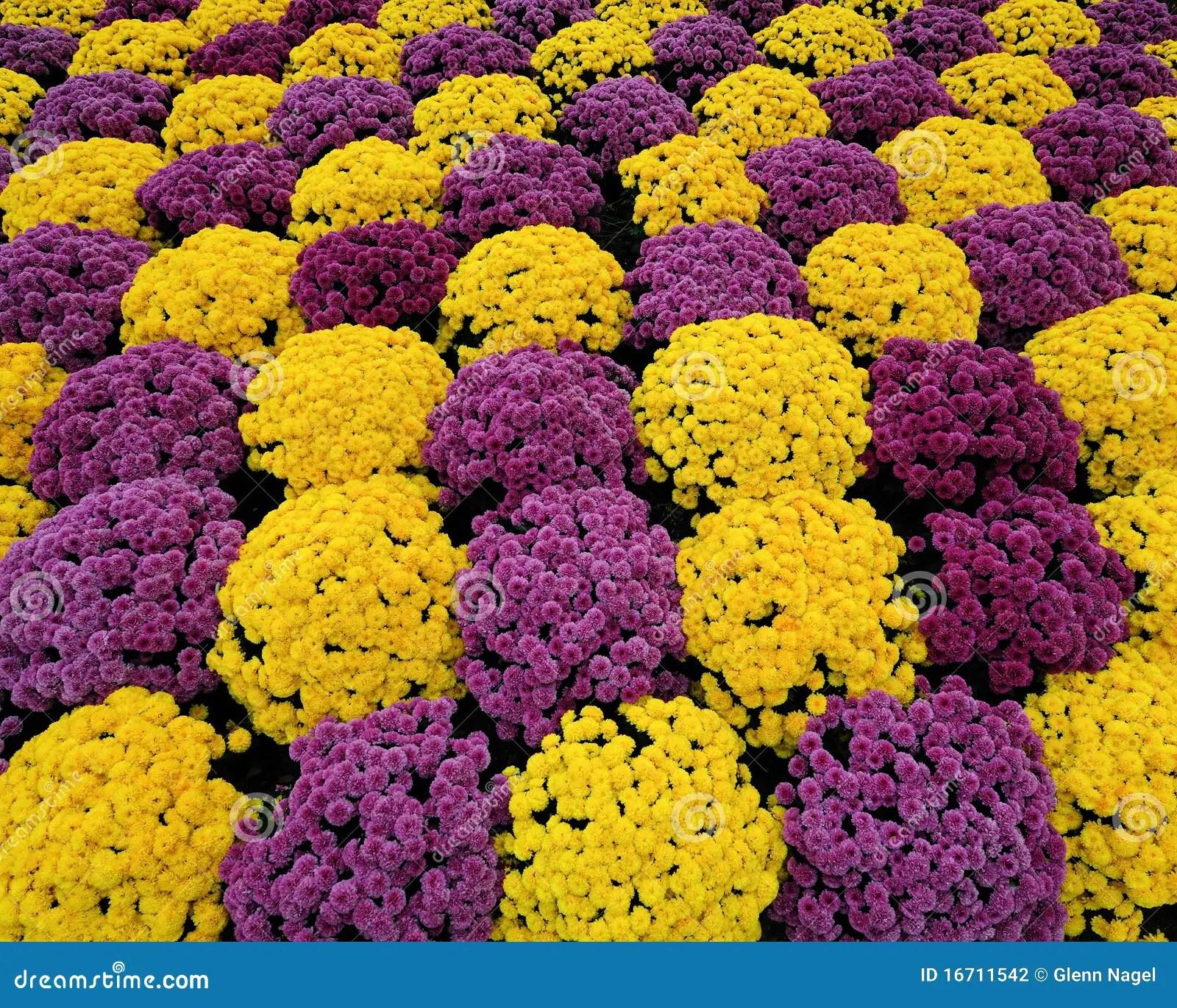 Purple  yellow mums stock photo Image of many pattern  16711542