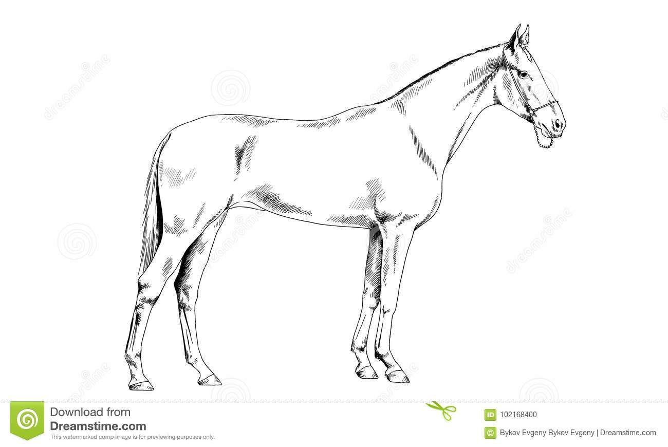 Race Horse Without A Harness Drawn In Ink By Hand Stock Vector