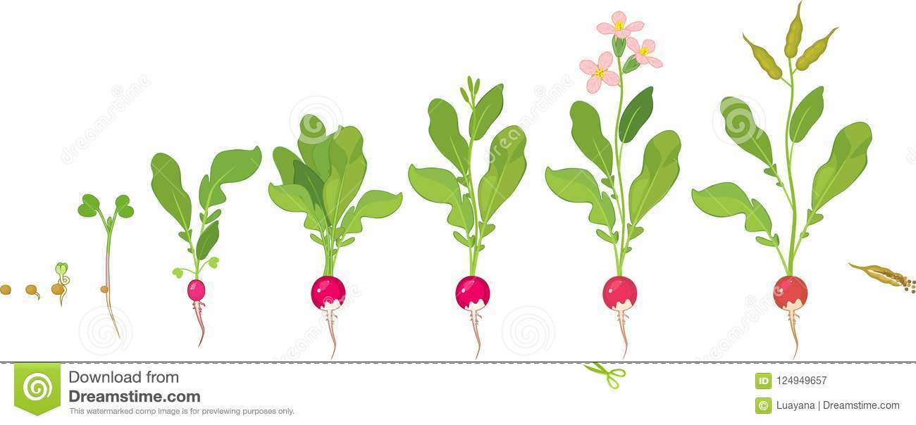 Radish Life Cycle Consecutive Stages Of Growth From Seed To Flowering And Fruitbearing Plant