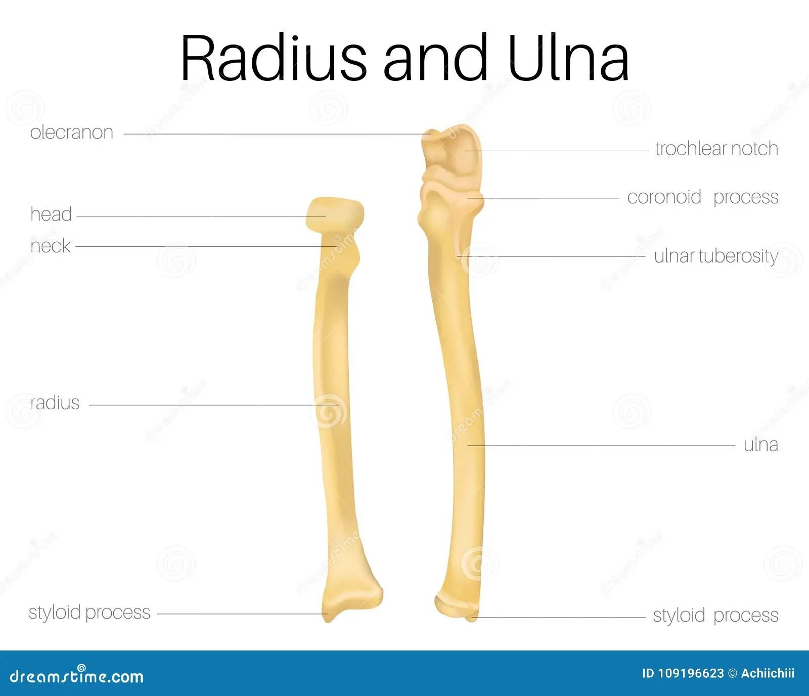 Radius And Ulna Bone Stock Vector Illustration Of Radius