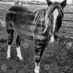 Ranch Horses Stock Image Image Of Fauna Livestock Barn 89868647