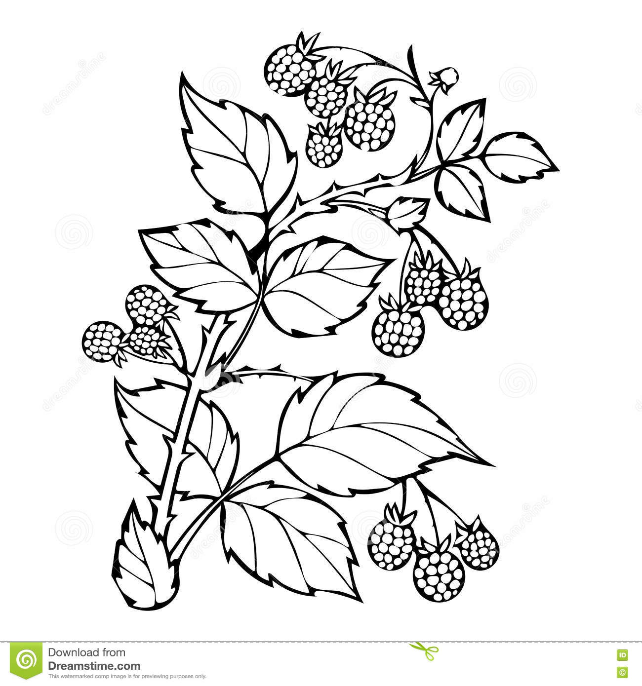 Raspberries Coloring Book Sketch Black And White