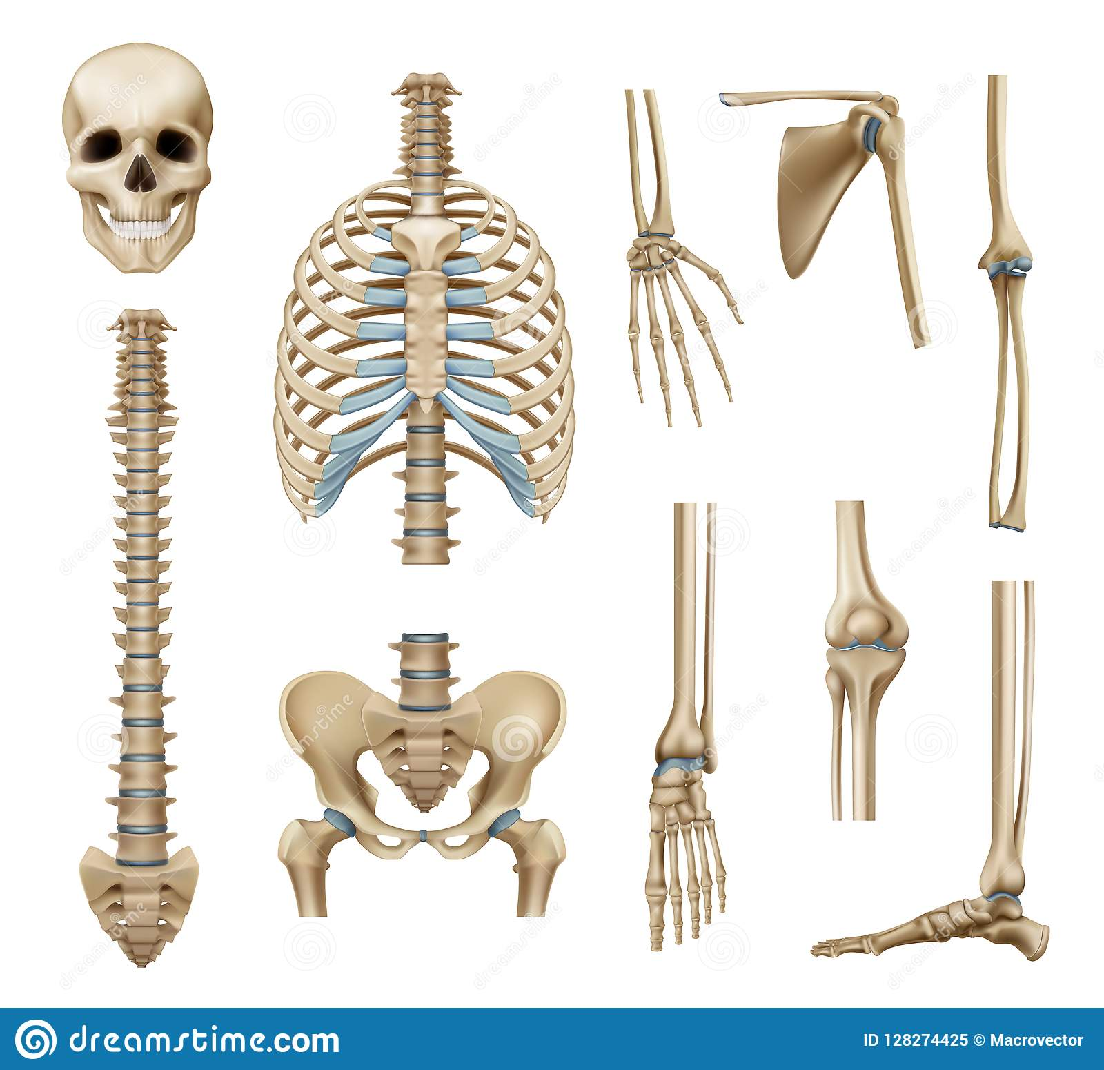 hight resolution of realistic human skeleton parts set with skull spine scapula bones of pelvis and limbs isolated vector illustration